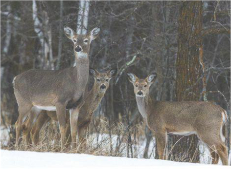 Whitetail Family, Card by Olander
