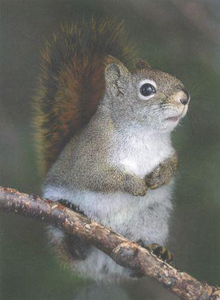 Red Squirrel, Greeting Card by Olander