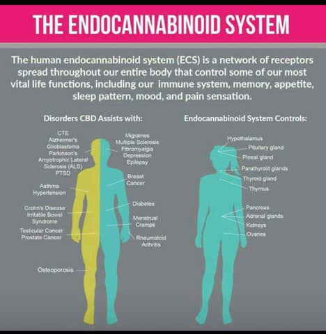 Endocannabinoid system with CBD
