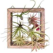 Load image into Gallery viewer, Air Plant Frame Wall Hanging