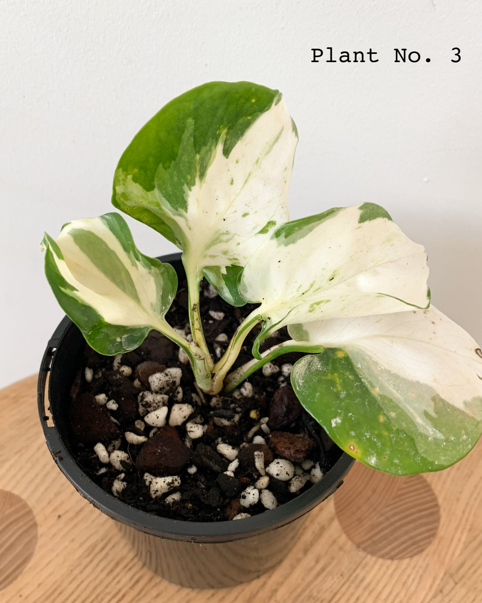 Manjula Pothos One Of A Kind Plants 10cm Pot Delivery At Your Ri The Plant Room Tasmania