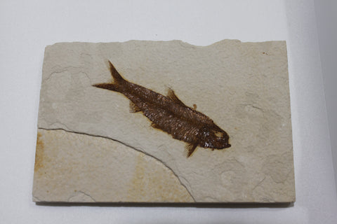 Fossil Fish (Knightia)