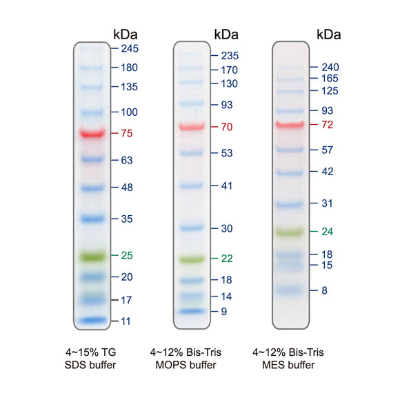 BLUeye Prestained Protein Ladder - Clover Biosciences, LLC