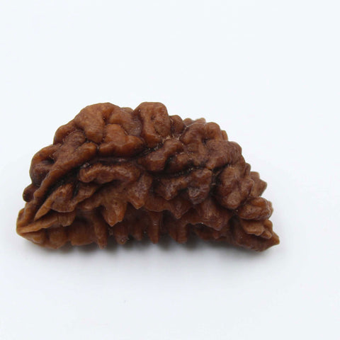 Natural One Face Rudraksha 2.278gms / 28.54mm Kaju shape Rudraksha Certified by IGL @ Ajretail - 1 Mukhi Rudraksha