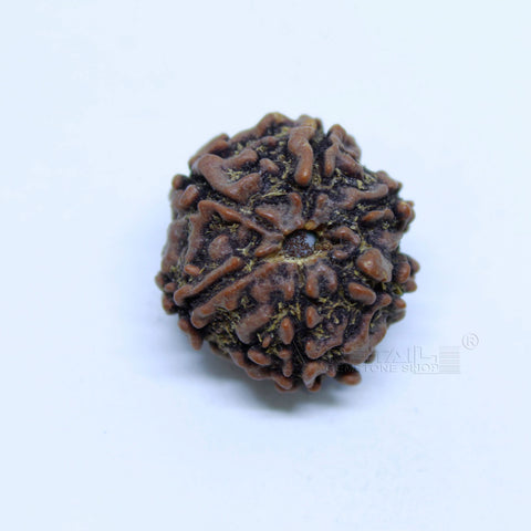14.00mm to 20.00mm (approx) Natural 6 Face Rudraksha IGL certified - 6MKH_RDR_AJ44 - 1 Mukhi Rudraksha