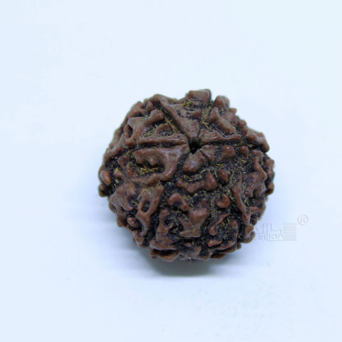14.00mm to 20.00mm (approx) Natural 6 Face Rudraksha IGL certified - 6MKH_RDR_AJ45 - 1 Mukhi Rudraksha