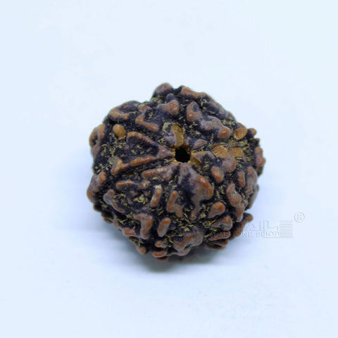 14.00mm to 20.00mm (approx) Natural 6 Face Rudraksha IGL certified - 6MKH_RDR_AJ49 - 1 Mukhi Rudraksha