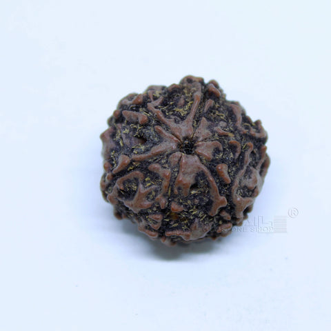 14.00mm to 20.00mm (approx) Natural 6 Face Rudraksha IGL certified - 6MKH_RDR_AJ59 - 1 Mukhi Rudraksha