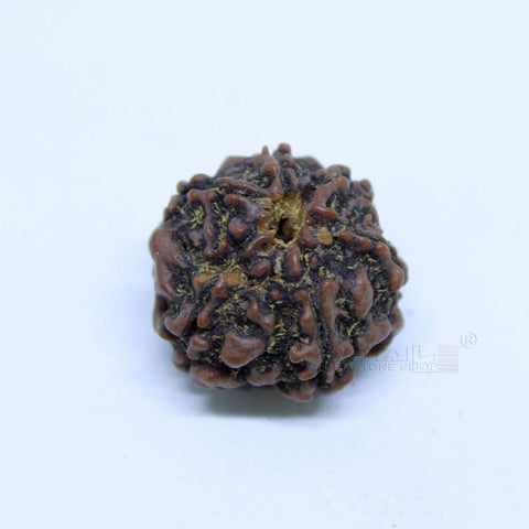 14.00mm to 20.00mm (approx) Natural 6 Face Rudraksha IGL certified - 6MKH_RDR_AJ60 - 1 Mukhi Rudraksha