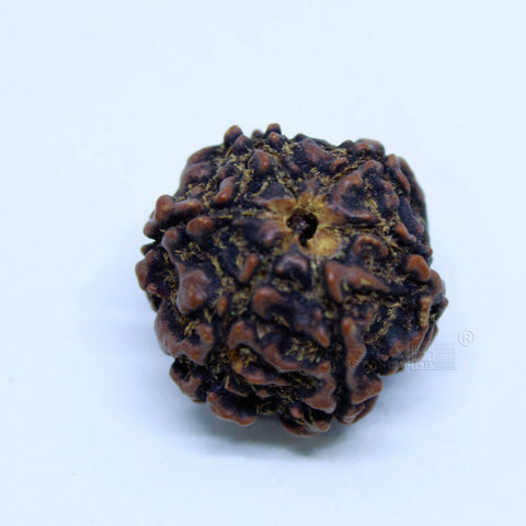 14.00mm to 20.00mm (approx) Natural 6 Face Rudraksha IGL certified - 6MKH_RDR_AJ23 - 1 Mukhi Rudraksha