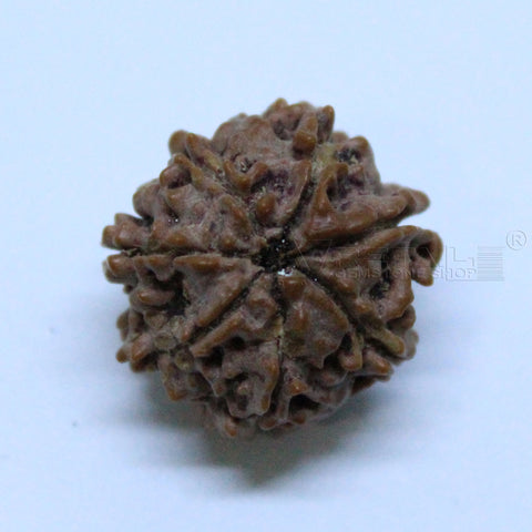 Natural 7 Mukhi Rudraksha 1.658gms | 17.46mm Certified by IGL buy online @ Ajretail - 1 Mukhi Rudraksha