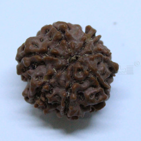 Natural 7 Mukhi Rudraksha 2.574gms | 19.34mm Certified by IGL buy online @ Ajretail - 1 Mukhi Rudraksha