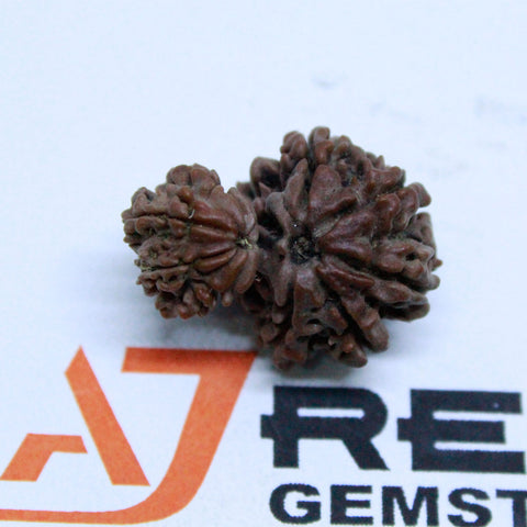 Natural 10 Mukhi Garbh Gauri Rudraksha 3.048 Grams 25.55mm Naturally joint 2 Beads - 1 Mukhi Rudraksha