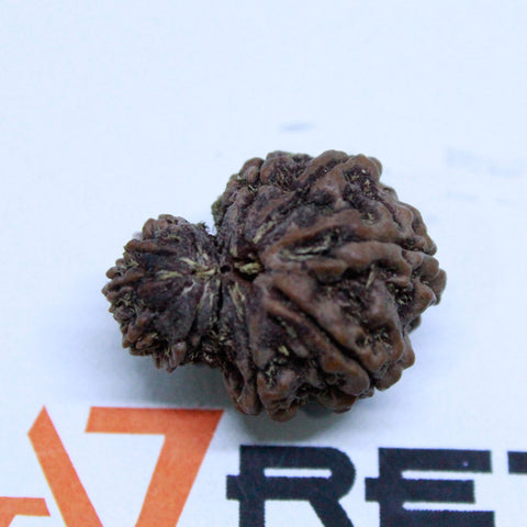 Natural 11 Mukhi Garbh Gauri Rudraksha 4.702 Grams 27mm Naturally joint 2 Beads - 1 Mukhi Rudraksha