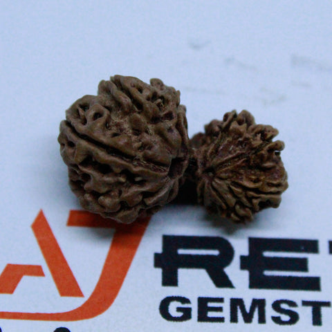 Natural 10 Mukhi GauriShankar Rudraksha 2.794 Grams 29.52mm Naturally joint 2 Beads - 1 Mukhi Rudraksha