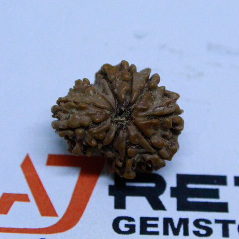 Natural 10 Mukhi Garbh Gauri Rudraksha 2.992 Grams 23.58mm Naturally joint 2 Beads - 1 Mukhi Rudraksha