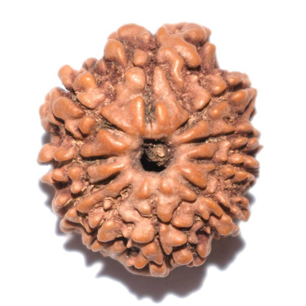 21.25mm Ten Face Rudraksha ~ 10 Mukhi Rudraksha Energize Nepal Bead Natural quality with Certificate in  Bhopal - 1 Mukhi Rudraksha
