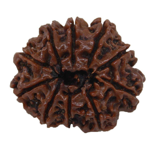 20.42mm Ten Face Rudraksha ~ 10 Mukhi Rudraksha Energize Nepal Bead Natural quality with Certificate in  Ramavaram - 1 Mukhi Rudraksha