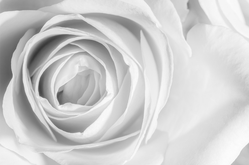 """White Rose"" - Art & Light"