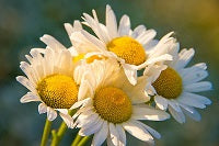 Chamomile: Clinically Proven to be More Than Just Tea