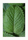 Bella Opulence Mint Leaf