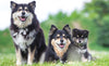 Three Finnish Lapphund on grass