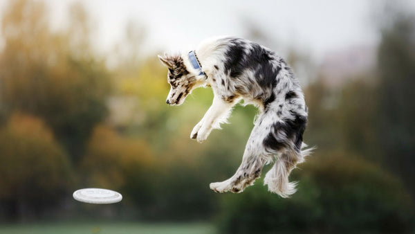 Is Jumping Bad For Dogs Fact Vs Fiction Lintbells Uk Blog
