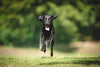 young black dog leaping outside