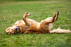 Retriever rolling on grass