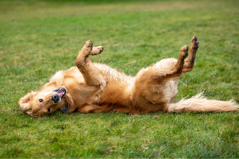 Why do dogs roll in fox poo?