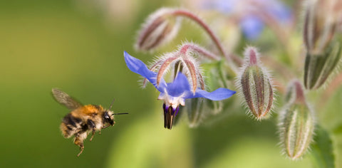 Bee-friendly borage and how it helps your pets