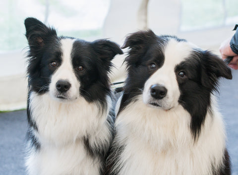 Border Collie customers
