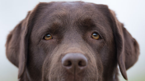 Chocolate Labrador eyes