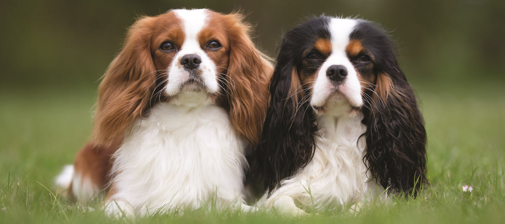 Two Cavalier King Charles Spaniel sat in the field
