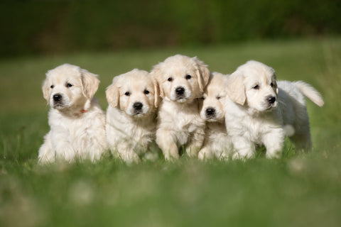 Group of Labrador puppies playing in garden together