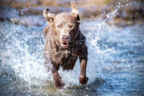 Brown dog runs through water whilst out on a walk