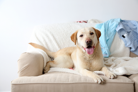 Golden Labrador looking happy sitting on sofa