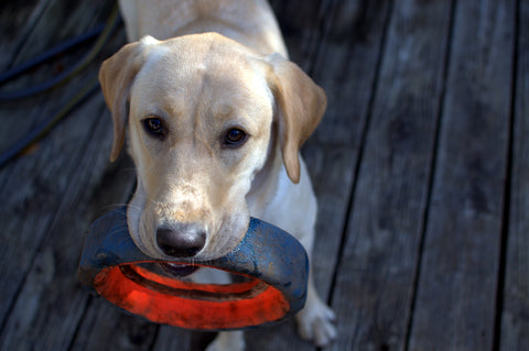 Yellow Labrador with tyre.