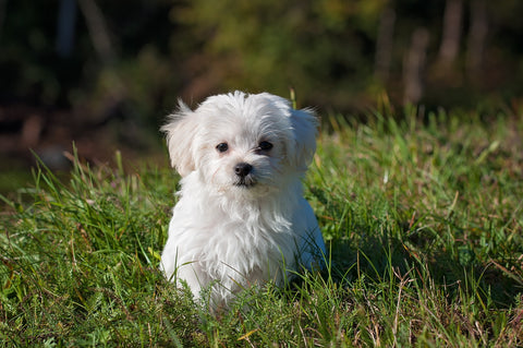 White fluffy puppy in a field