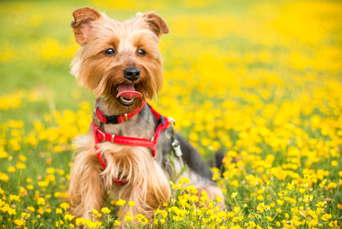 Yorkshire terrier in a field of buttercups.