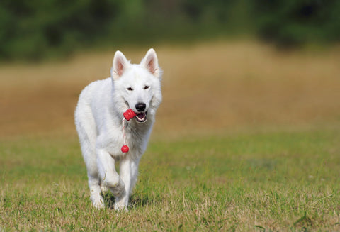 White dog running in field with a toy.