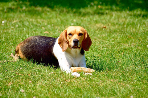 Beagle with bone lying in the grass.