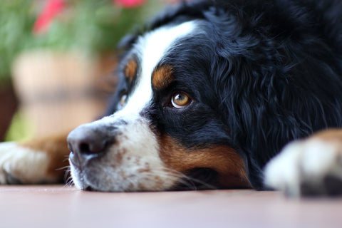 Bernese Mountain Dog lying down.