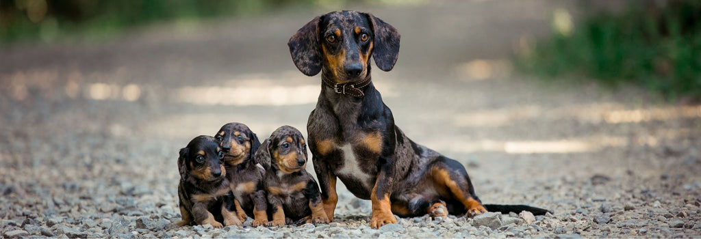 Dachshund with puppies