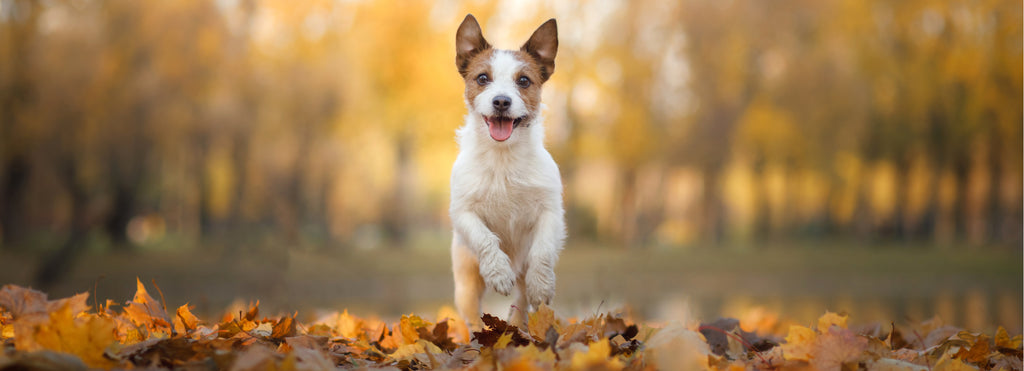 Jack Russell walking in leaves autumn