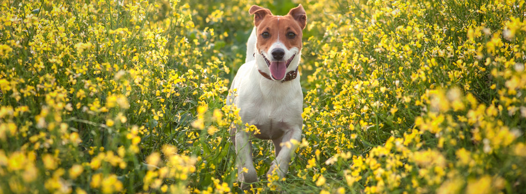 Dog in field of flowers with hay fever