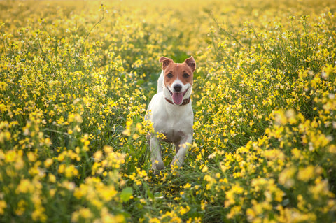 Dog has fun in yellow meadow in the summer