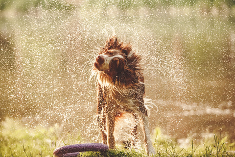 Dog shaking off water after swimming on a hot day