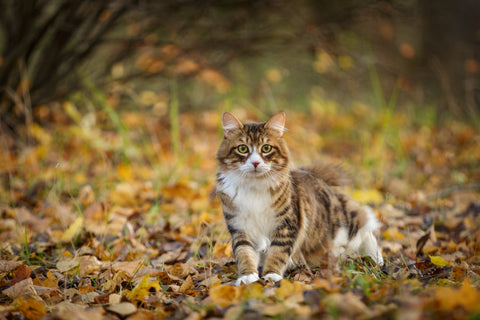 Curious cat exploring the countryside in the Autumn