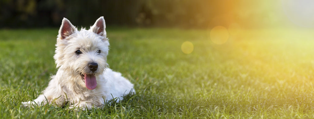West Highland Terrier happy in grass